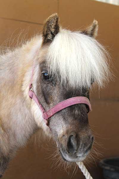 Dazzle, Miniature Horse mare Paso Robles, CA
