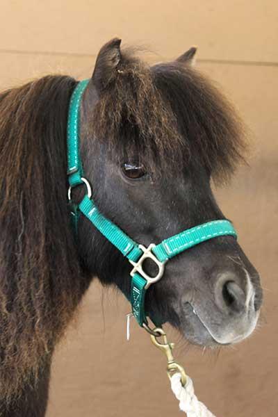 Hope, Miniature Horse mare Paso Robles, CA